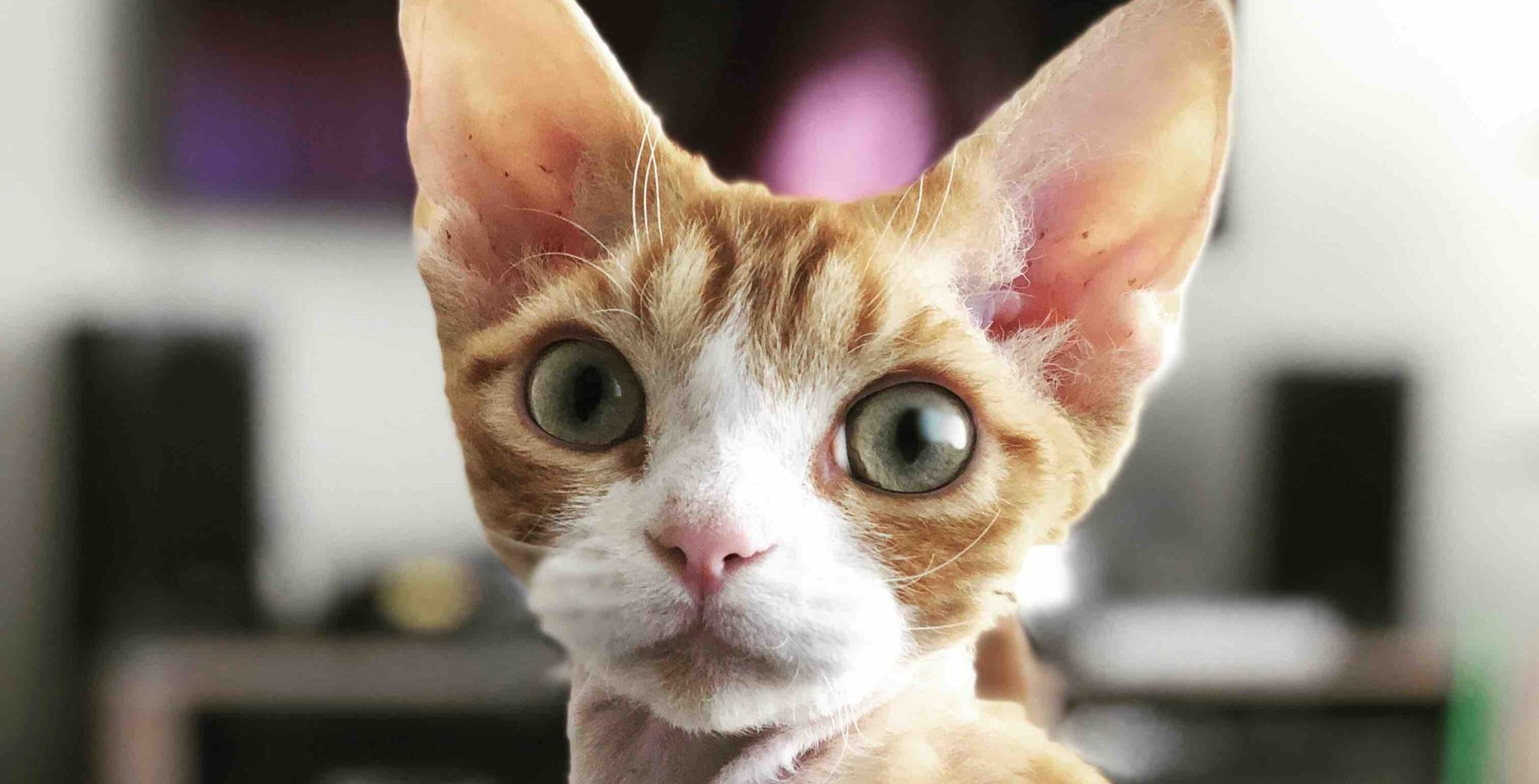 cat with large ears and eyes