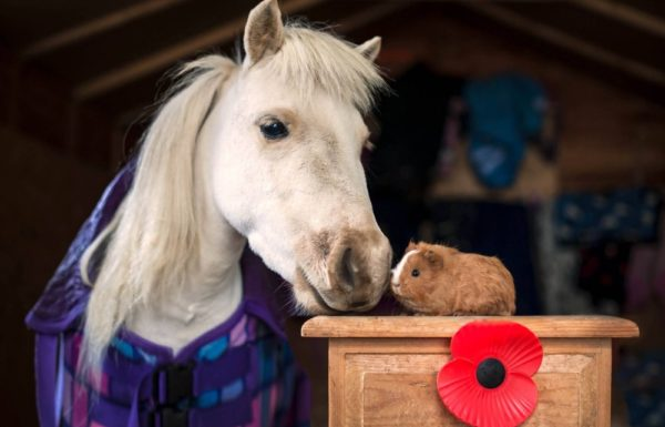 horse and guinea pig
