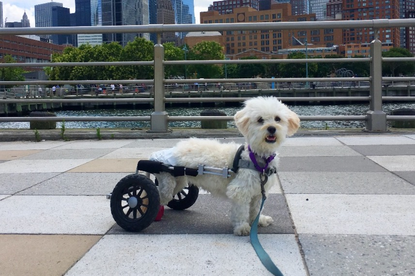 disabled dog with wheelchair