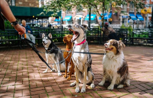 Four dogs on leashes in a park
