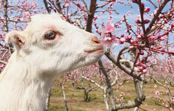 A goat sniffs a flower in an orchard