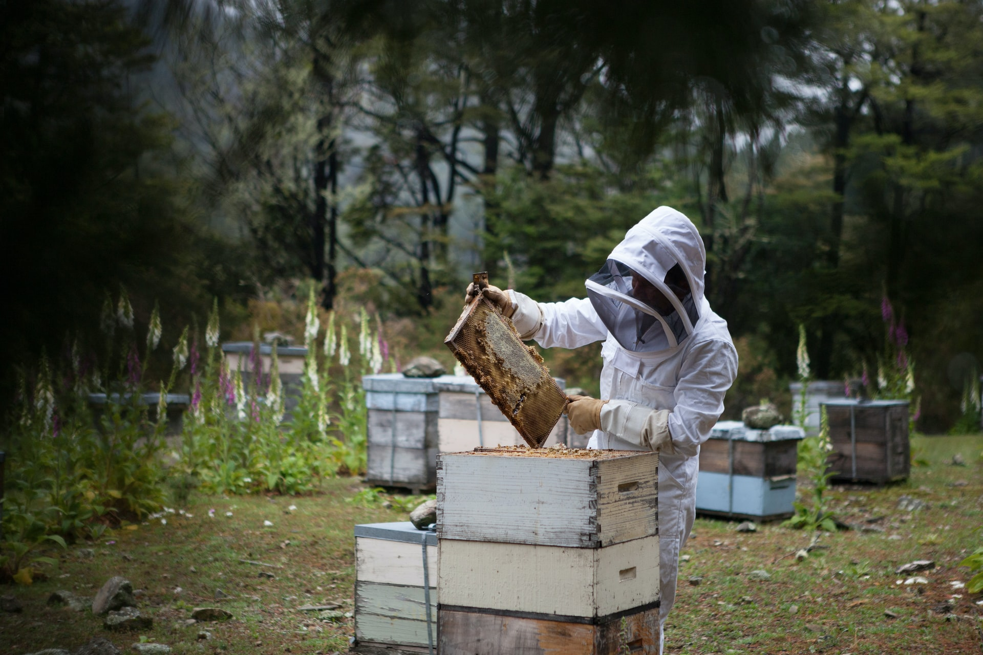 A beekeeper harvesting honey from a hive in a bee suit