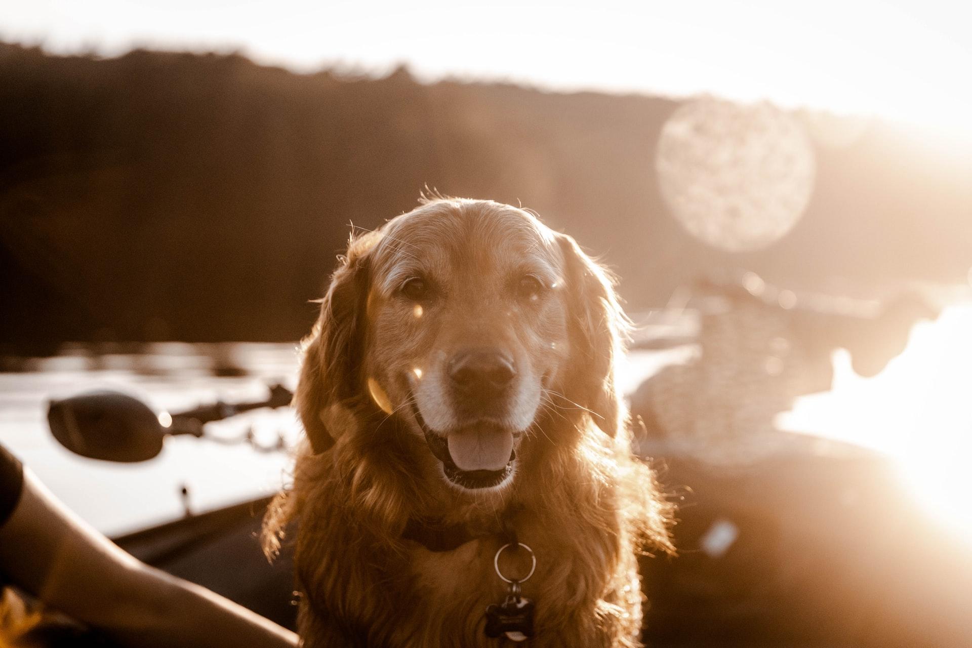 golden retriever in a boat