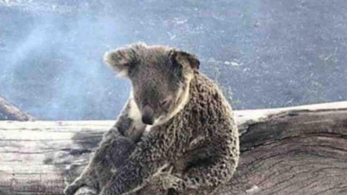 Koala sitting amidst smoke following the Australian Bush Fires
