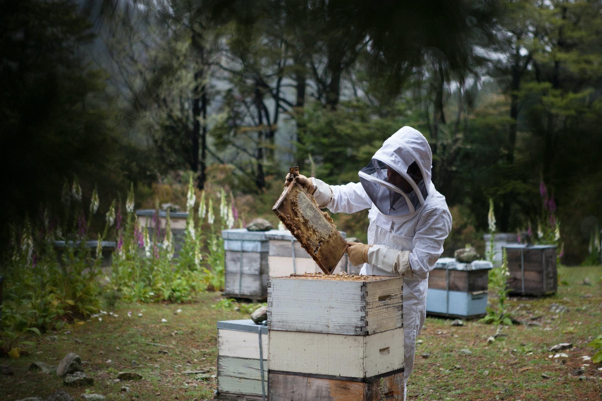 A beekeeper harvests honey