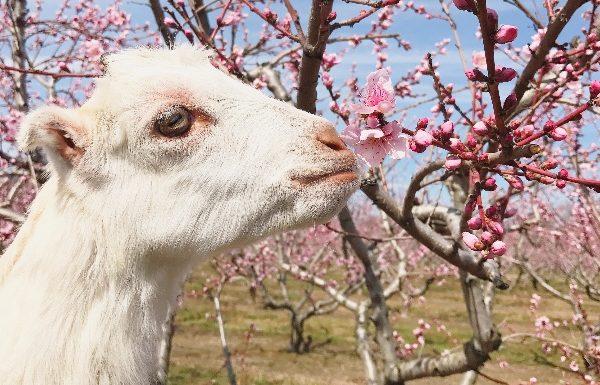chèvre dans les prés