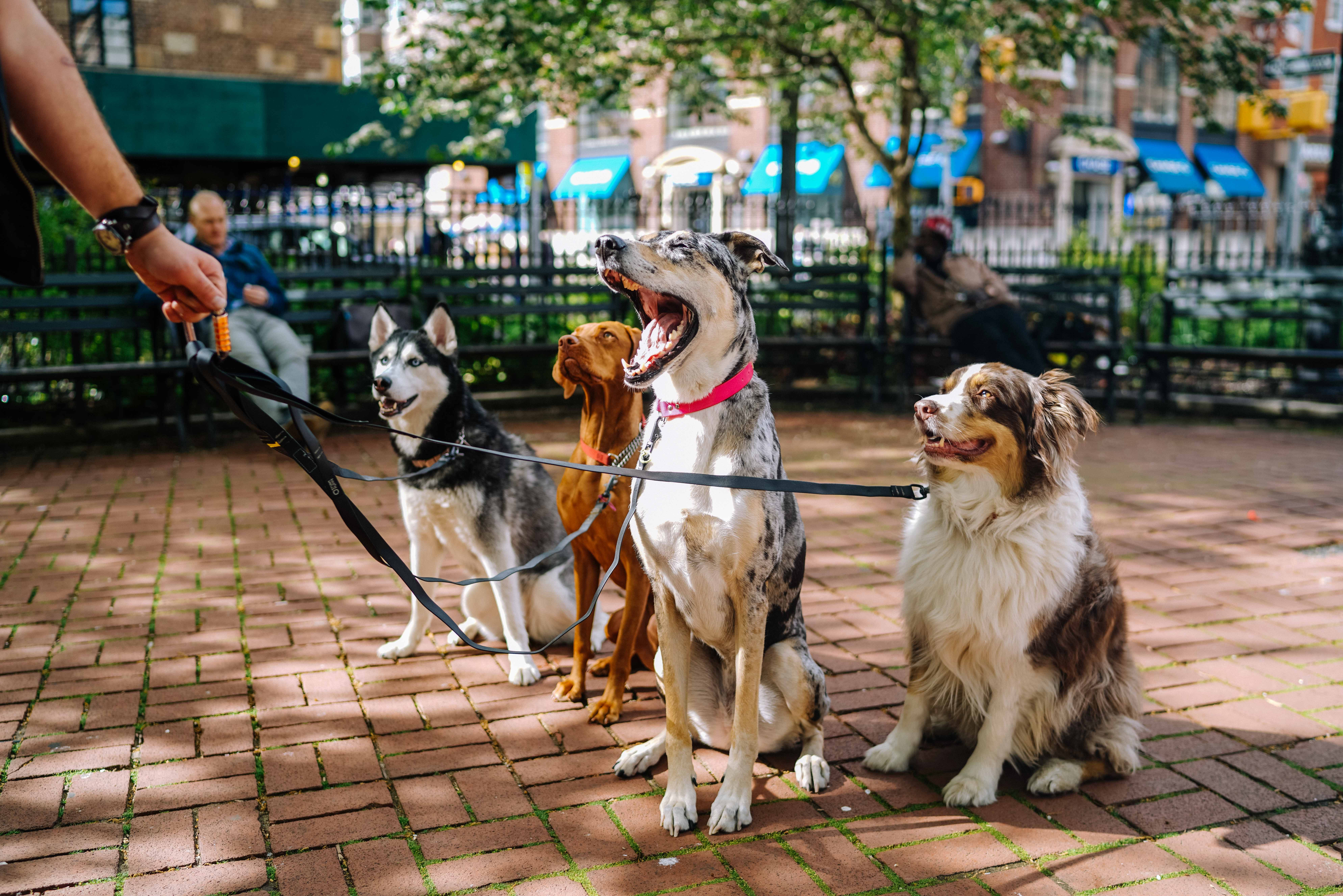 A group of dogs on a leash